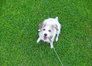 Small dog on grass looking up